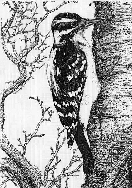 Woodpecker Pen & Ink Print